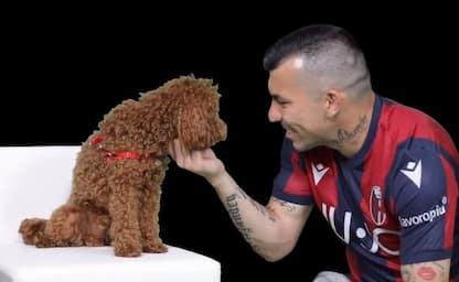 Bologna annuncia Pitbull Medel con un barboncino