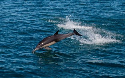 """Messico, delfini reclutati per salvare le """"vaquitas"""""""