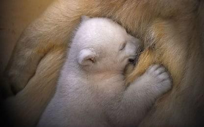 Cuccioli di orso polare a rischio per colpa dell'inquinamento