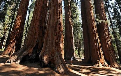 """California: crolla il Pioneer Cabin Tree, la sequoia con il """"tunnel"""""""
