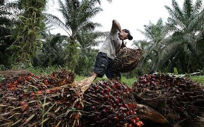 Olio di palma, in aumento le coltivazioni sostenibili