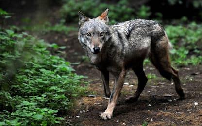 Avvistato un lupo nel Lodigiano: è la prima volta dopo 254 anni