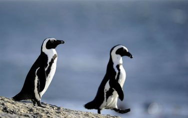 GettyImages_pinguino_africano