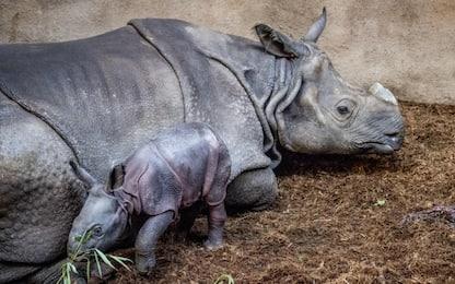 Baby rinoceronte allo zoo di Rotterdam