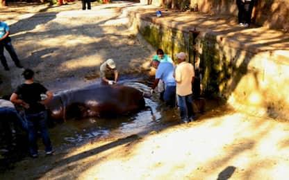 El Salvador, indignazione per la morte dell'ippopotamo Gustavito