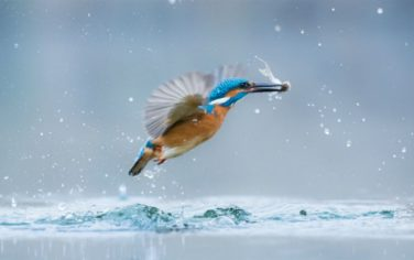 Kingfisher_Alcedo_arthis_Gbor_Li_-_UN_WORLD_WILDLIFE_DAY_PHOTO_COMPETITION
