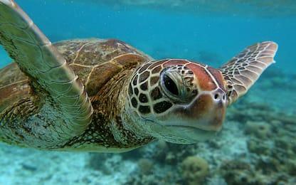 Ritrovata nelle Eolie tartaruga con amo gigante in bocca: salvata