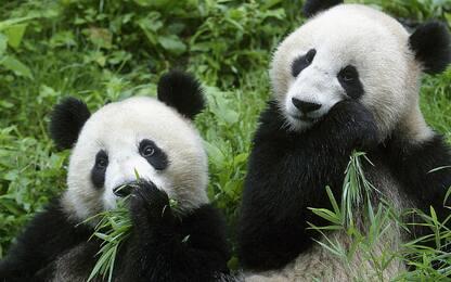 Panda, le macchie servono per mimetizzarsi
