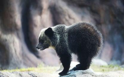 Orsi e lupi in pericolo in Alaska, progetto di legge per la caccia