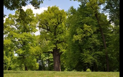 European Tree of the Year 2017