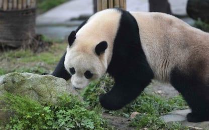 Panda Bao Bao in Cina