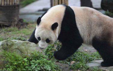 Lapresse_Panda_Bao_Bao_3