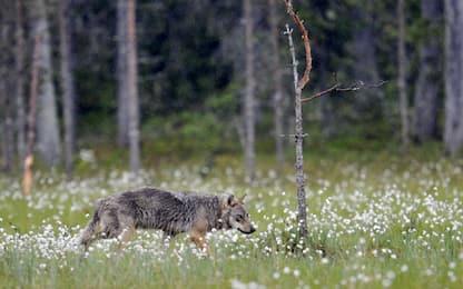 Torino: allarme lupi in Val Pellice, nel Pinerolese