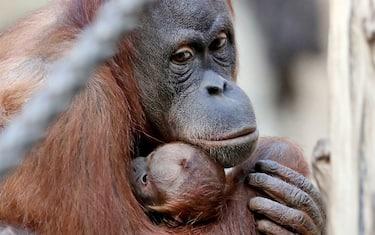 Getty_Images_Orango_tango_zoo_Lipsia_4