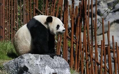 Panda allo zoo Pairi Daiza di Brugelette