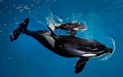 Al SeaWorld di San Antonio si festeggia l'arrivo della baby orca