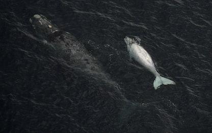"""I piccoli di balena """"sussurrano"""" alle madri per sfuggire ai predatori"""