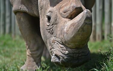 rinoceronte_sudan_kenya_tinder_getty