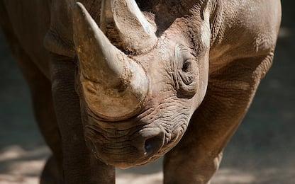 Il rinoceronte nero torna in Ruanda dopo 10 anni