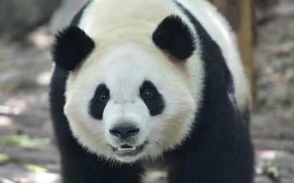Due panda giganti andranno a Copenaghen
