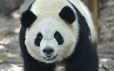 LaPresse_Panda_chengdu