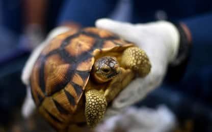 Malaysia, sequestrate 300 tartarughe