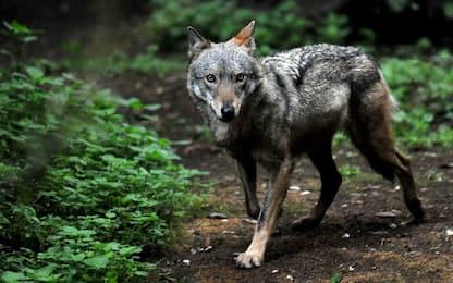 Chivasso, ovini e caprini sbranati da un lupo