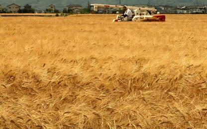 Cambiamento climatico, entro fine secolo meno grano e orzo in Europa