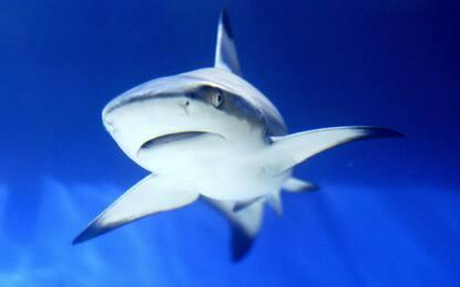 Scoperto il fossile di un raro squalo nella campagna senese
