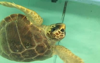 Grosseto, la tartaruga Olà torna a casa: libera e in mare. VIDEO