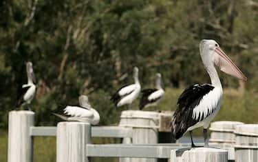 Uccelli_acquatici_australia