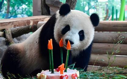 Il compleanno del panda Meng Meng.