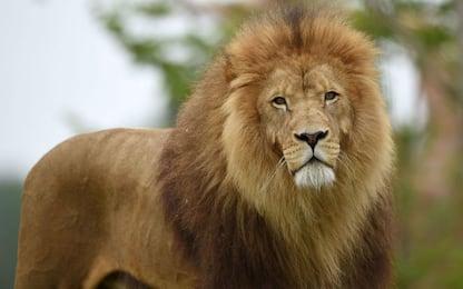 Germania, leoni e tigri in fuga da uno zoo. Catturati dopo alcune ore