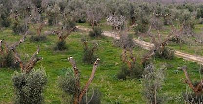 """Xylella fastidiosa a Monte Argentario, in Toscana: """"Non colpiti ulivi"""""""
