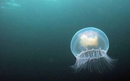 """Da trivelle a eolico, impianti in mare sono casa """"perfetta"""" per meduse"""