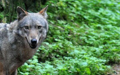 Bolzano, troppi lupi e orsi: giunta apre a catture o uccisioni