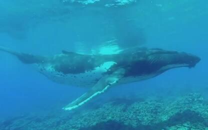 Polinesia, il cucciolo di megattera a spasso con la madre. VIDEO
