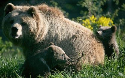 L'orso bruno conserva parte del Dna del suo antenato delle caverne