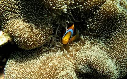 Grande Barriera, gli effetti del riscaldamento globale sui coralli
