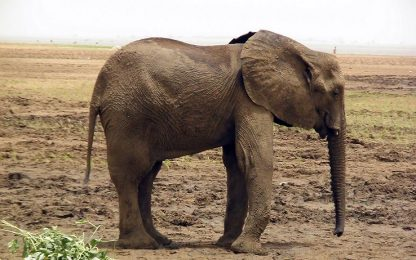 Elefante del Mali in estinzione, colpa anche del cambiamento climatico