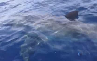 Grande squalo bianco avvistato al largo di Rimini. VIDEO