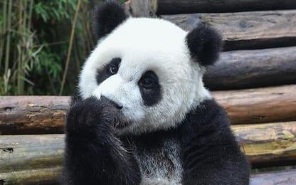 Cina, ecco Pupu: il panda ginnasta che si allena nello zoo di Shenyang