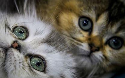 I gatti sviluppano un senso di attaccamento per i loro padroni