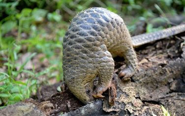 GettyImages-Pangolin