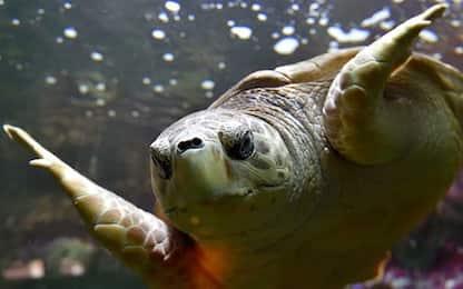 Gli antenati delle tartarughe non avevano il guscio