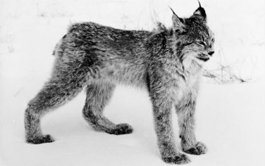 GettyImages-lince