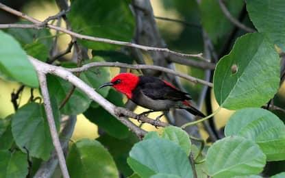 Indonesia, scoperta nuova specie di uccello nella foresta equatoriale