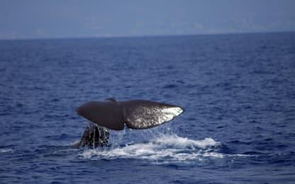 I cetacei antichi avevano un fiuto più sviluppato di delfini o balene