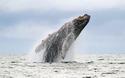 Microplastiche nei mari, balene e squali a rischio