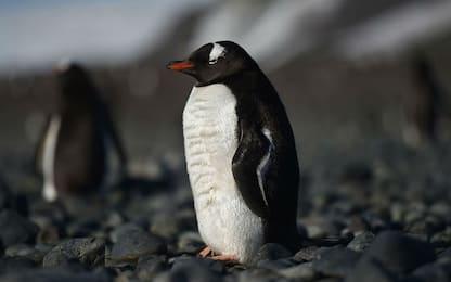 Scoperto fossile di un pinguino gigante vissuto 60 milioni di anni fa